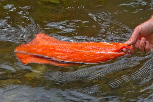 Need A Recipe For Your Wild Alaska Salmon Tikchik